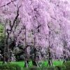 二条城庭園の桜