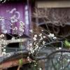 祇園新橋の梅