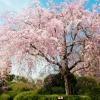 妙心寺退蔵院の桜