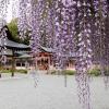 西院春日神社の藤の花